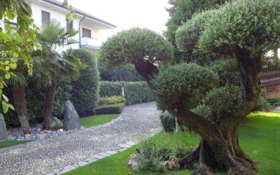 Potare l'Ulivo: una pianta magnifica